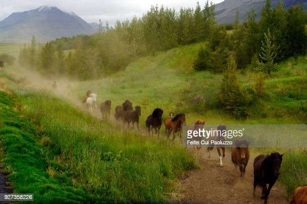 Horse gethering at Eyjafjardardalur, Northeast, Iceland