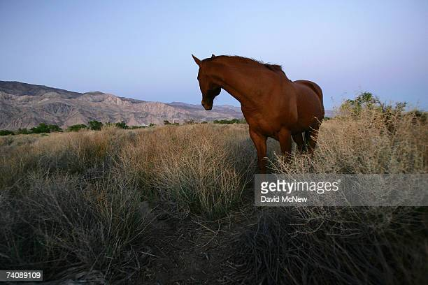 A horse grazes at nightfall along the lower Owens River before it empties into Owens Lake on May 5 2007 near Lone Pine California The Los Angeles...