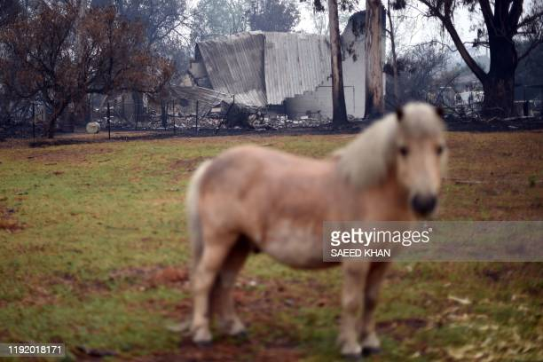A horse grazes in front of a burnt house after an overnight bushfire in Cobargo in Australia's New South Wales state on January 6 2020 Reserve troops...