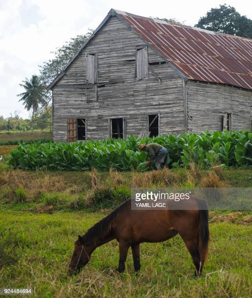 A horse grazes near the drying barn of a tobacco plantation in San Juan y Martinez Pinar del Rio Province Cuba on February 24 2018 Cuba will hold the...