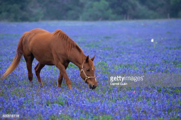 horse grazing among bluebonnets - texas bluebonnet stock pictures, royalty-free photos & images