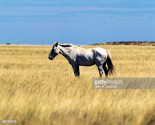 Horse grazing Equidae Patagonia Argentina