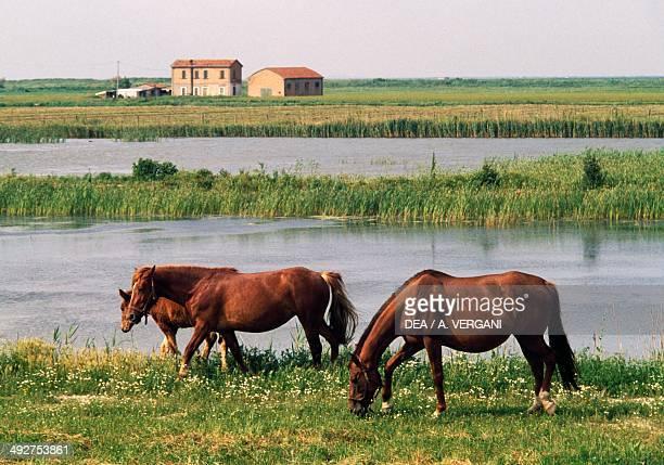 Horse grazing , Equidae.