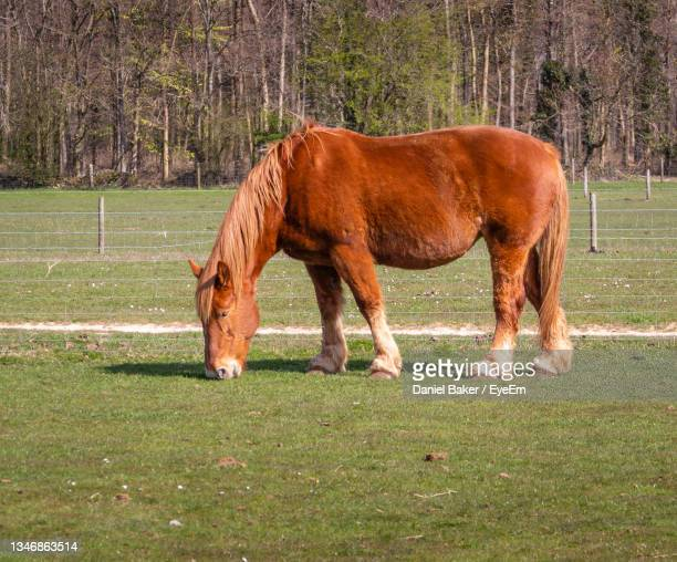 horse grazing in a field - herbivorous stock pictures, royalty-free photos & images