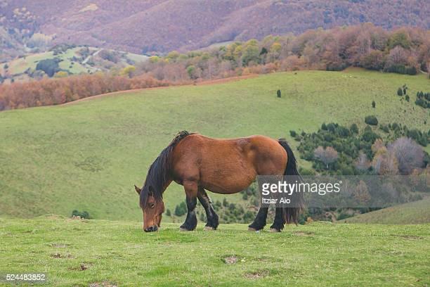 Horse grazing in Irati Forest, Navarra