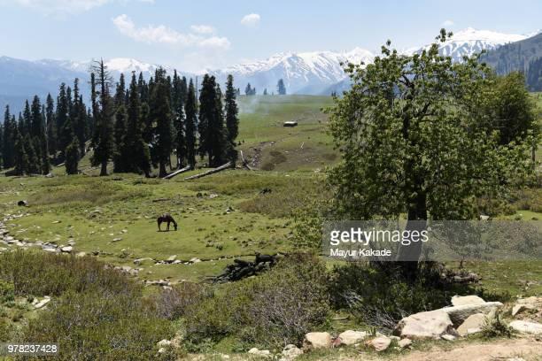 Horse grazing in meadow in gulmarg