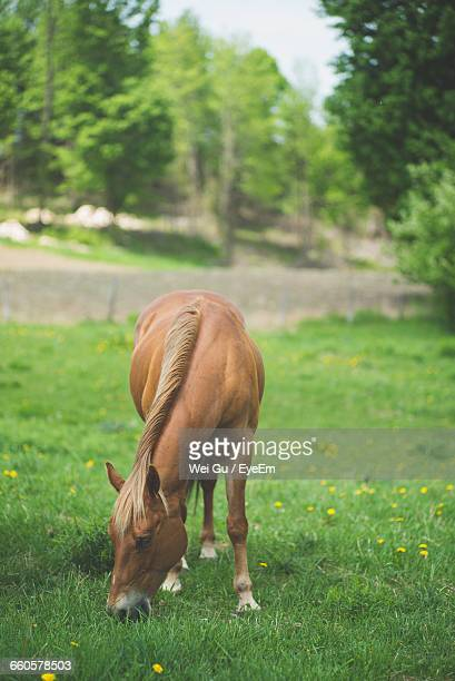 Horse Grazing On Grassy Field
