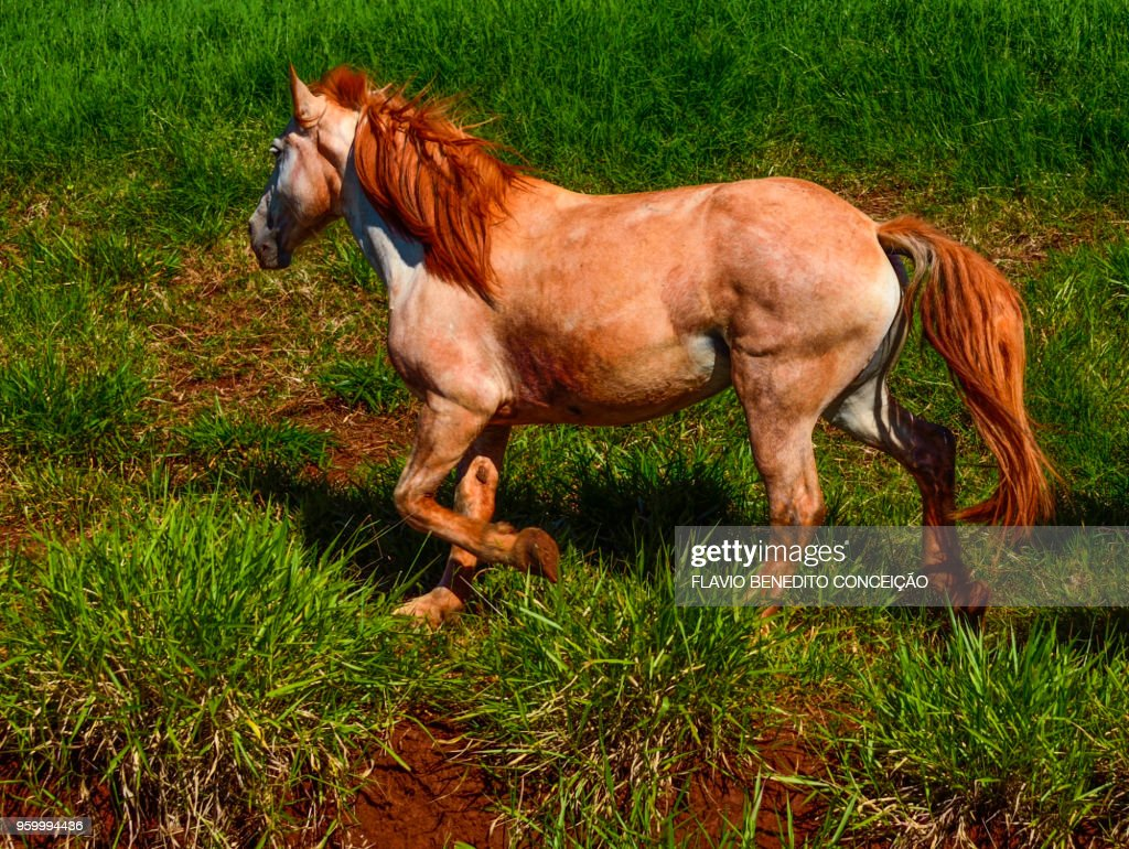 Horse grazing used in a study on the farm : Stock-Foto