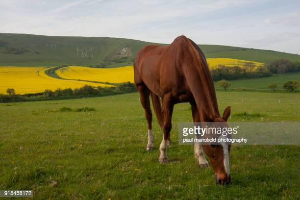 horse grazing with long man of wilmington in background - thoroughbred horse - fotografias e filmes do acervo