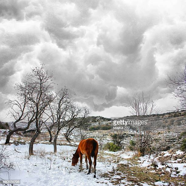 horse hair reddish, free grazing in the snow - castellon de la plana stock pictures, royalty-free photos & images