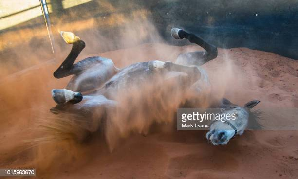 LOUTH AUSTRALIA AUGUST 10 A horse has a roll in the sand before the 2018 Louth Races at Louth Turf Club on August 10 2018 in Louth Australia With a...