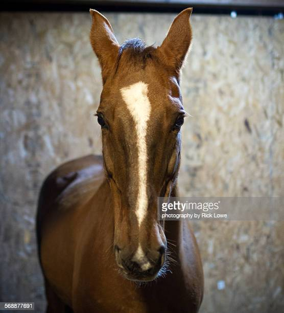 horse head - bay horse stock photos and pictures