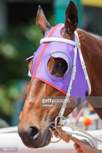 Horse head with Purple Blinders