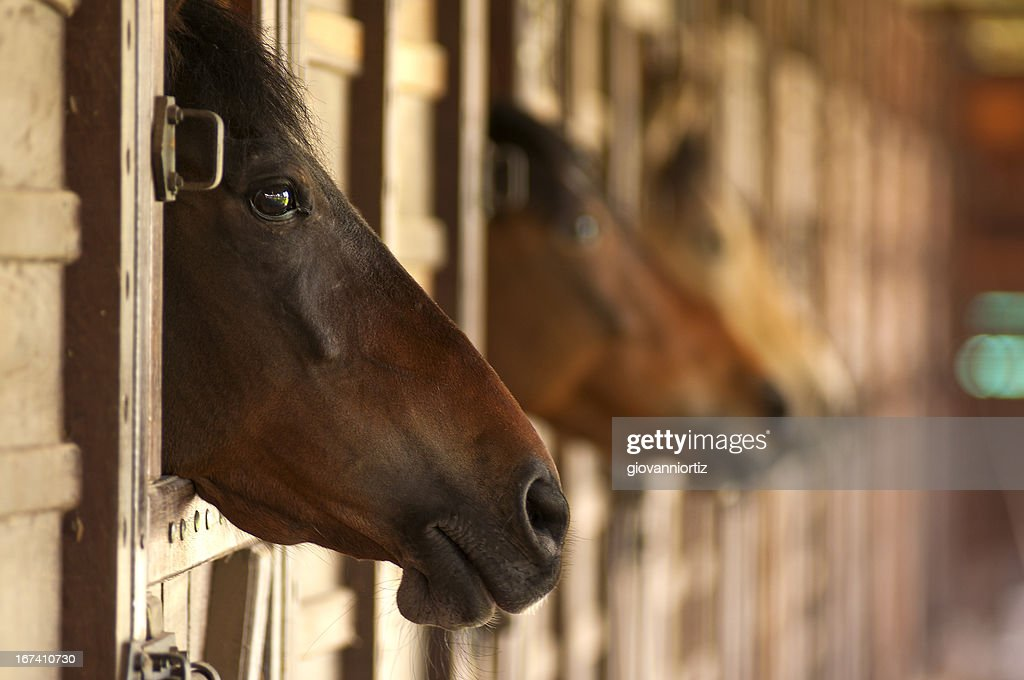 horse heads : Stock Photo