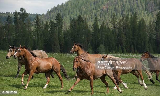 Horse Herd Gallop