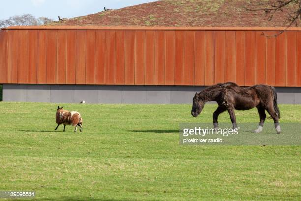 a horse hunts a sheep,netherlands - brille stock pictures, royalty-free photos & images