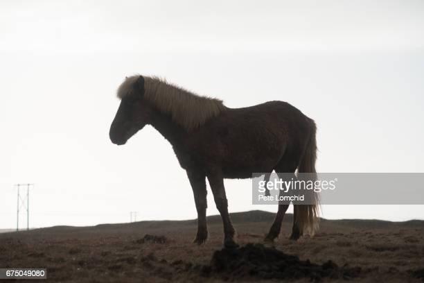 horse icelandic silhouette