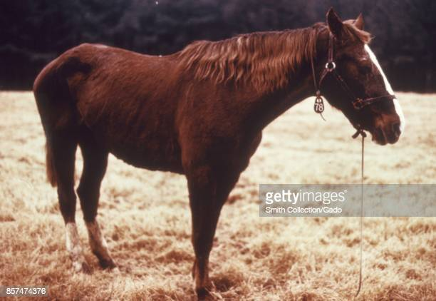 Horse in a field afflicted with Venezuelan equine encephalitis an arbovirus disease 1974 Image courtesy CDC