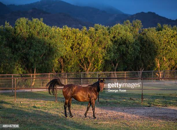 A horse in a field along Alisos Canyon Road catches a small ray of sunlight at surise on July 13 near Los Olivos California Because of their close...
