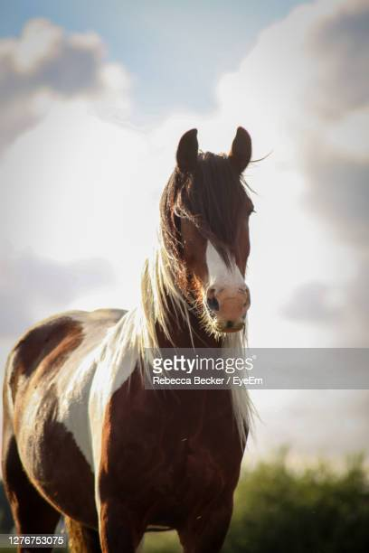 horse in a field - hairy bum stock pictures, royalty-free photos & images