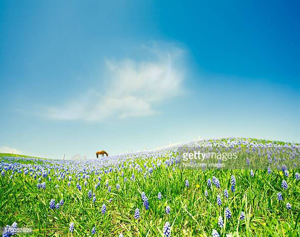 horse in bluebonnet meadow - texas bluebonnet stock pictures, royalty-free photos & images
