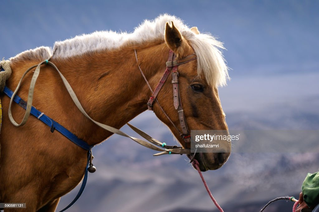 Horse in Bromo : Stock Photo
