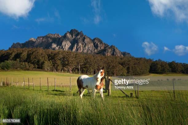 A horse in farmland of Mt Roland, Tasmania,Australia