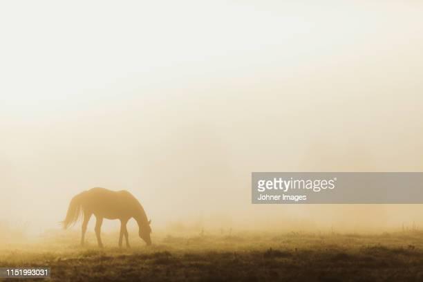 horse in foggy meadow - paard paardachtigen stockfoto's en -beelden