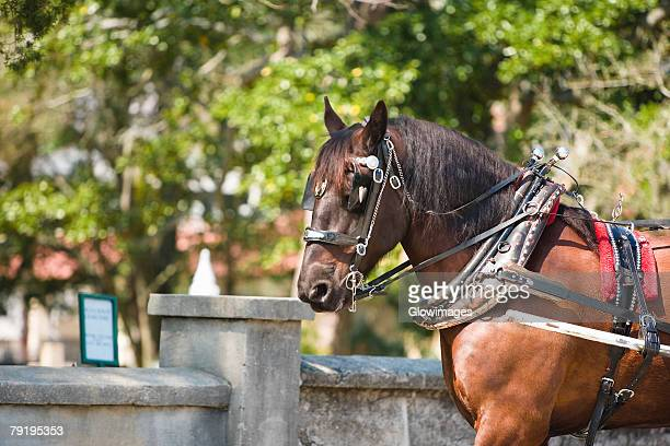 horse in front of a wall, st. augustine, florida, usa - st. augustine florida stock photos and pictures
