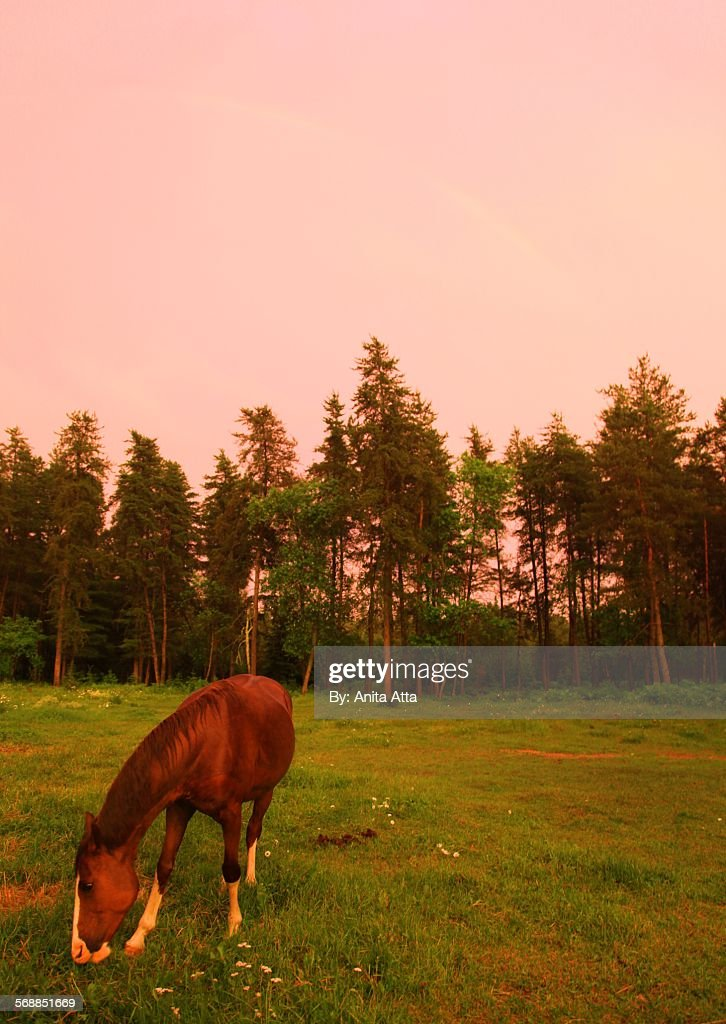 Horse in pink sunset : Stock Photo