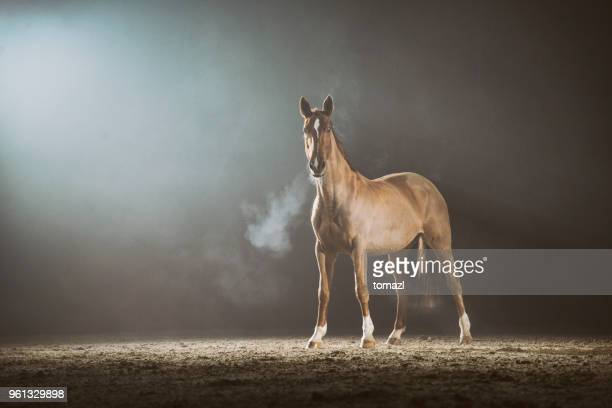 cavalo in the fog - thoroughbred horse - fotografias e filmes do acervo