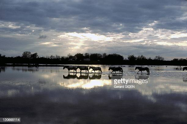 Horse in the marsh in Camargue France Bouches du Rhone regional natural park of Camargue during a stormy weather a camargue horse is a breed of small...