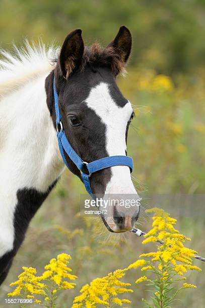 Horse in Yellow Wild Flowers, Young Black and White Foal