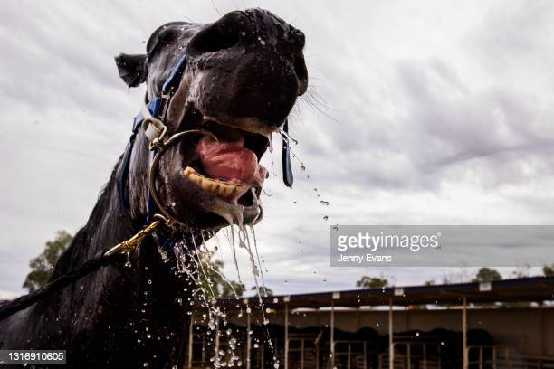 Horse is hosed during the Cobar Races at Cobar Miners' Race Club on May 08, 2021 in Cobar, Australia. The race meet is held annually attended by...