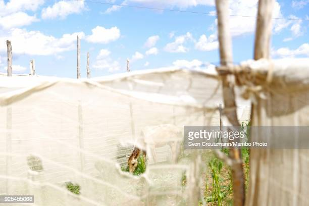 A horse is seen a tobacco leave plantation at the Despalillo factory in the Western province of Pinar del Rio in San Juan y Martinez on February 27...