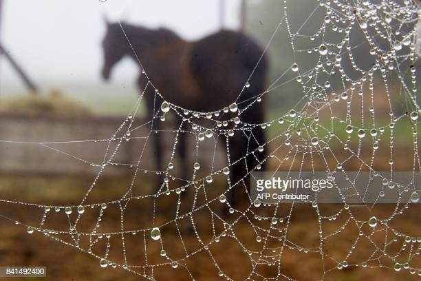A horse is seen behind a spider's web covered with raindrops on September 1 2017 near Winningen western Germany / AFP PHOTO / dpa / Thomas Frey /...