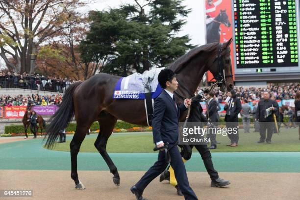 Horse Kitasan Black being led around the paddock during the Japan Cup at Tokyo Racecourse on November 27 2016 in Tokyo Japan