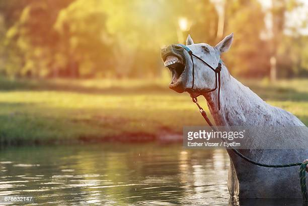 Horse Laughing In Lake During Sunset