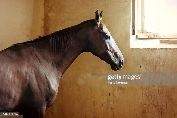 Horse looking through a barn window
