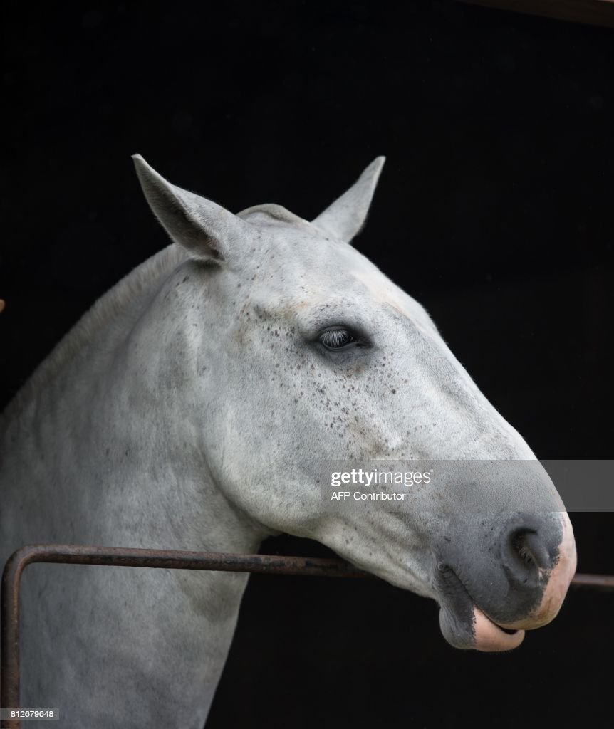 A horse looks out from a stable on the first day of the Great Yorkshire Show near Harrogate in northern England on July 11, 2017. The agricultural show, which was first held in 1838, showcases all aspects of country life. Organised by the Yorkshire Agricultural Society (YAS), it is held each July and attracts around 130,000 visitors over the three days. / AFP PHOTO / Oli SCARFF