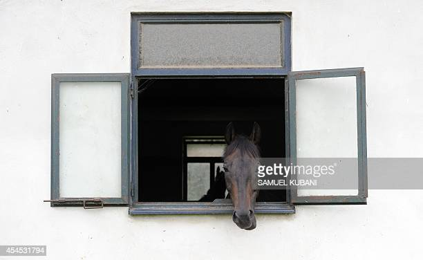 Horse looks out of a window of a horse stable during training day at Vampil yard, near Malacky, Slovakia on September 3, 2014. AFP PHOTO/SAMUEL KUBANI