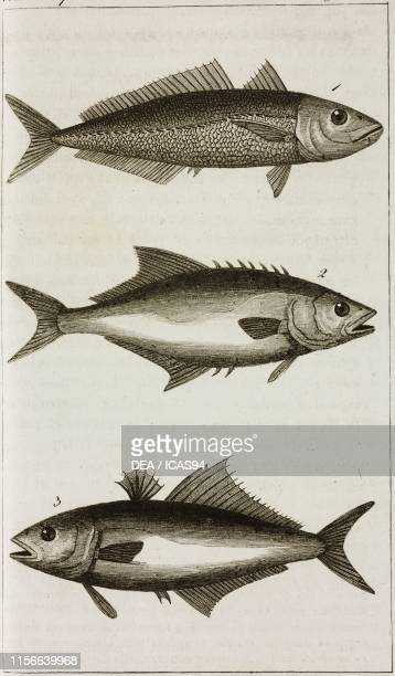 Horse mackrell, 2) Carance amia, 3) Leerfish, engraving by Giacomo Aliprandi, from Le opere di Buffon , by Georges-Louis Leclerc de Buffon and...