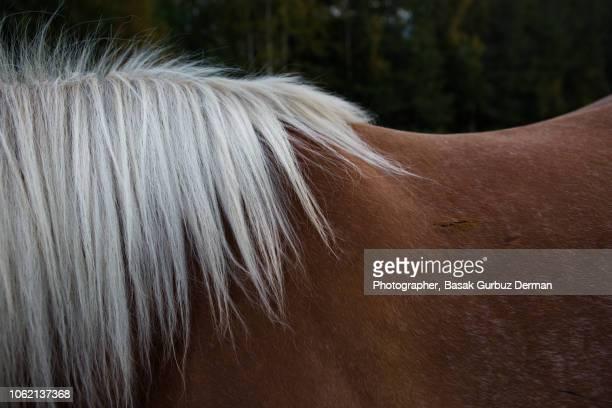 horse mane - basak gurbuz derman stock photos and pictures