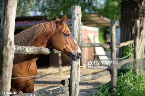 horse muzzle leaning against the fence on the farm - um animal - fotografias e filmes do acervo