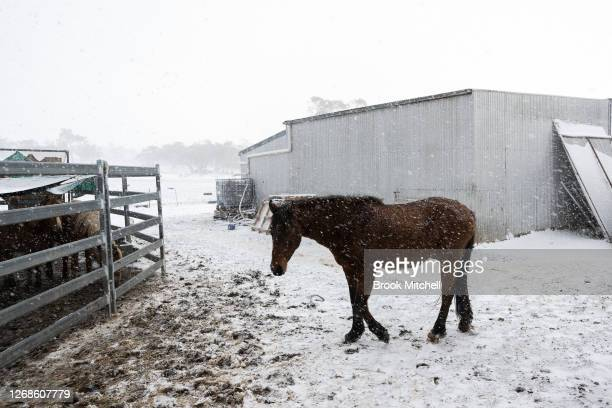 A horse named Captain walks towards a newly rehomed group of six Brumbies as heavy snow falls on the White Alpine Equine horse farm on August 22 2020...