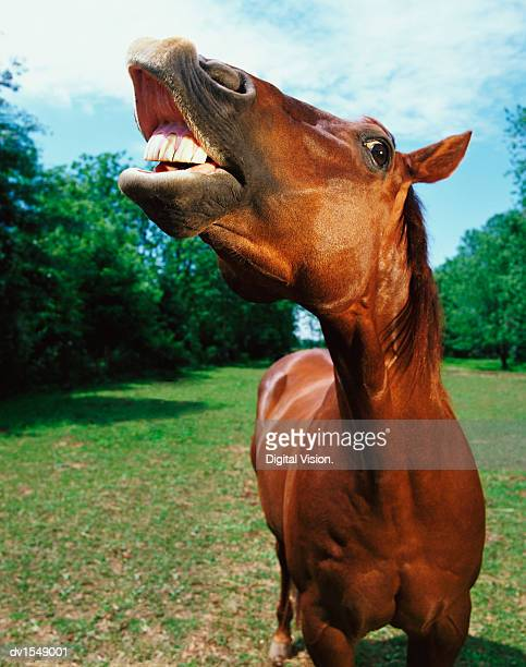 horse neighing - horse teeth stock photos and pictures
