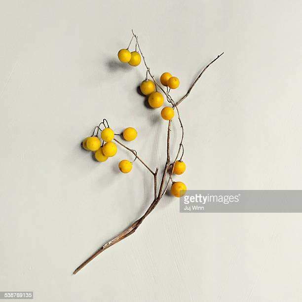 horse nettle (solanum carolinense) - イラクサ ストックフォトと画像