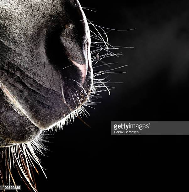 Horse nose and mouth
