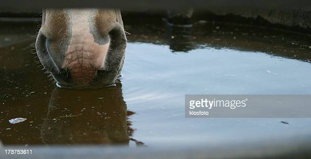 Horse Nose in Water