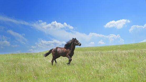 horse of cinnamon color runs freely at a gallop at the will of bright juicy hills with green grass 1029238592